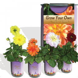 Dahlia Growing kit